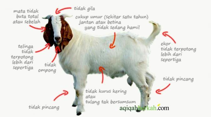 Hasil gambar untuk hewan aqiqah