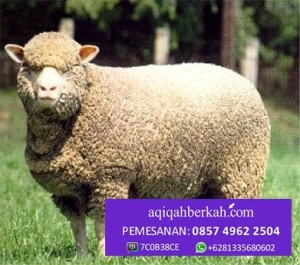 foto domba