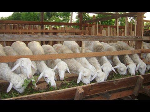 harga kambing gibas 2018