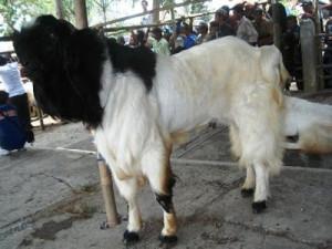 kambing-etawa
