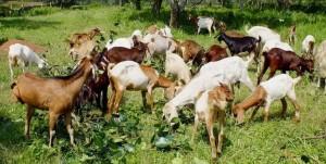 kambing-kacang