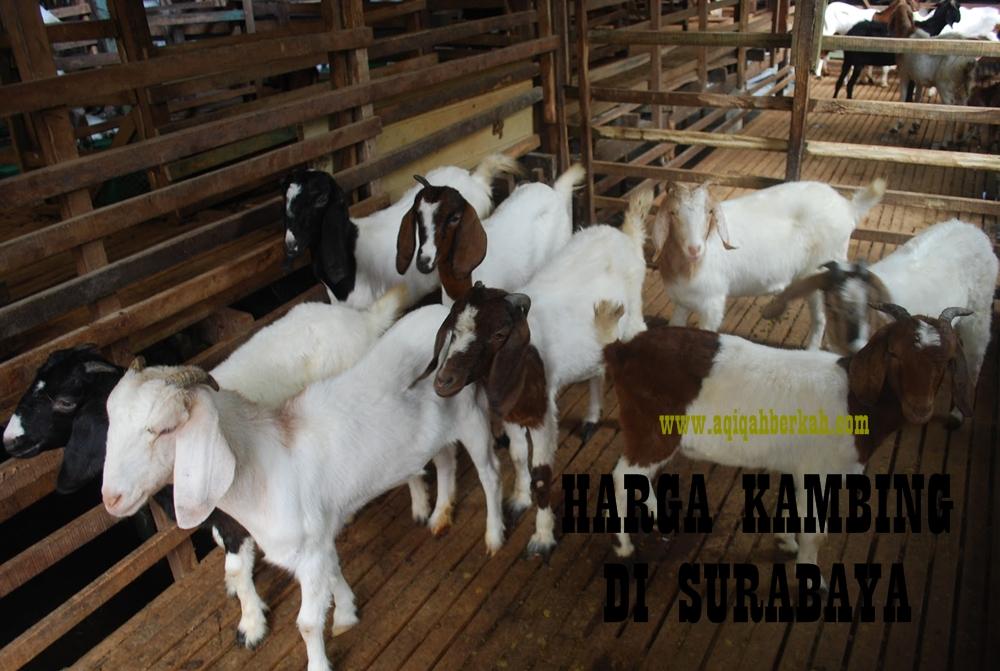 31 KAMBING SBY