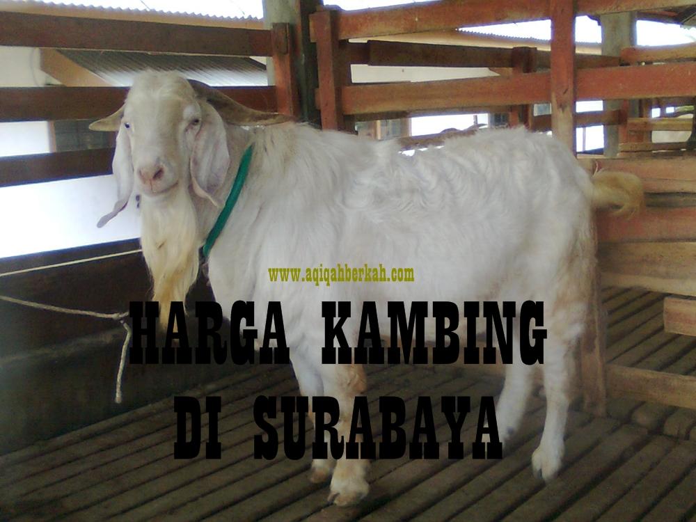 31 Kambing surabaya