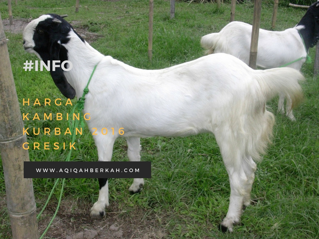 harga kambing kurban 2016 gresik
