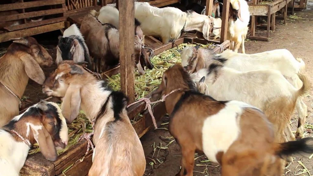 This image has an empty alt attribute; its file name is kambing-8-1024x576.jpg